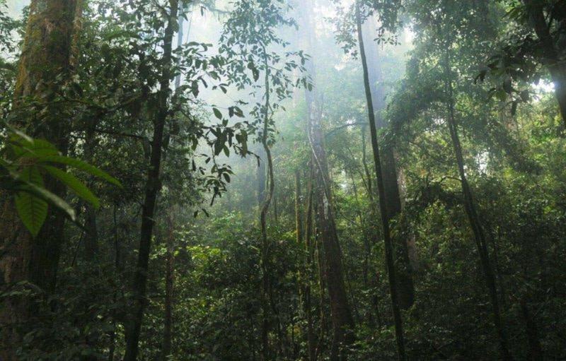 Bäume im Brasilianischen Regenwald - Fetisso Latexproduzent